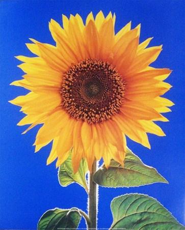Sunflower - H Schwarz
