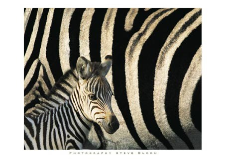 Framed Zebra Stripes & Foal - Steve Bloom
