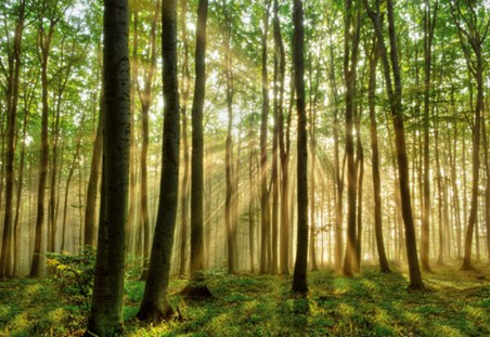 Morning Sunrise in the Forest - Photography 8 Sheet Wall Mural