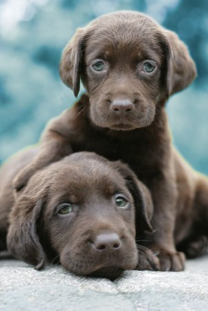 Adorable Chocolate Labradors - Keith Kimberlin