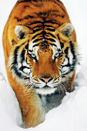 Framed Tiger in the Snow - Tiger Photo