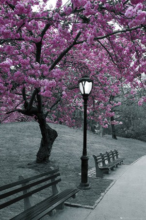 Blossom in Central Park Poster