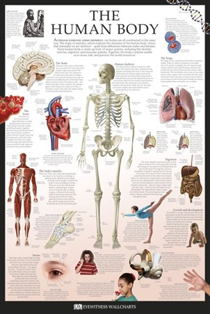 The Human Body - Dorling Kindersley
