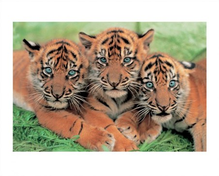 Tiger Cubs - Wildlife Photography