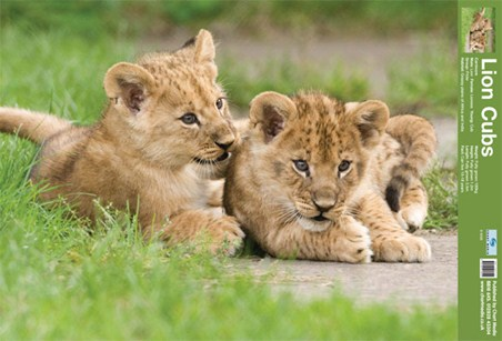 Lion Cubs - Fun Facts
