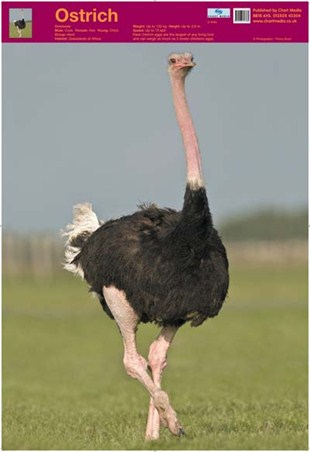 Ostrich - Wildlife Fun Facts