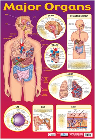 Find Your Way Around the Human Body!, Major Organs of The Body
