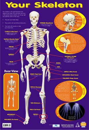 Your Skeleton - 206 Bones In The Body