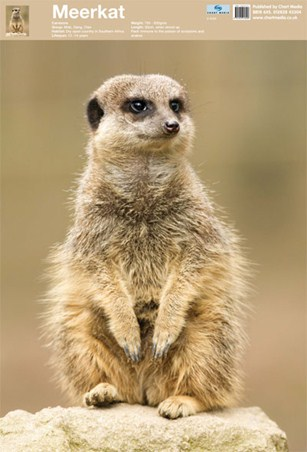 Animal World - The Meerkat
