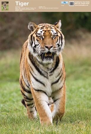 Animal World - Tiger