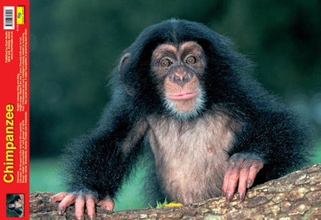 Animal World - Chimpanzee