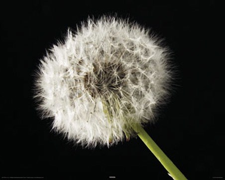 Dandelion - Macro Photography