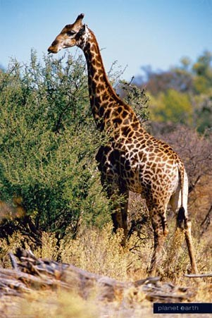 Giraffe in Africa - Planet Earth Collection