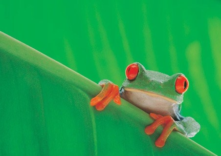 Framed Red Eyed Frog - Nature