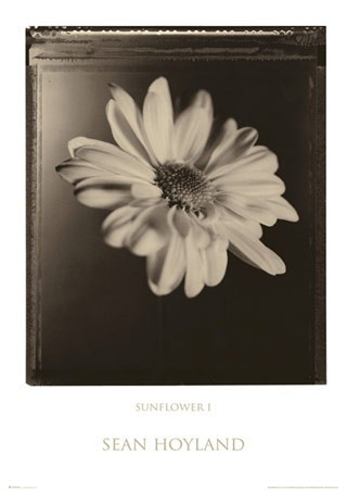 Sunflower I - Sean Hoyland