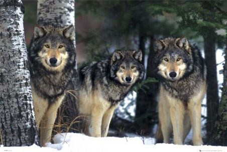 Three Wolves in the Snow, Canis Lupis – The Timberwolf