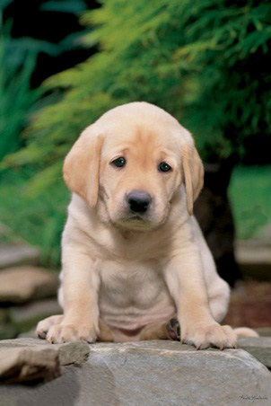 A Cute, Sad Looking Labrador Puppy - Labrador Puppy