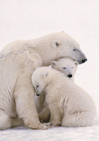 Polar Bear Family - Polar Bears