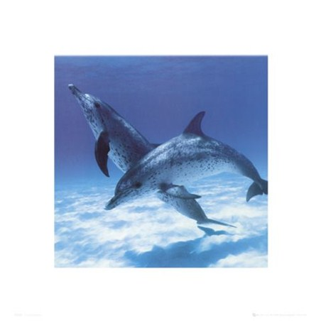 Framed A Pair Of Bottle Nose Dolphins - Daniel McCulloch