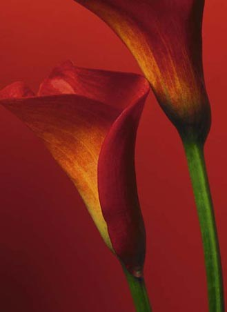 Red Calla Lilies - Plant Life 4 Sheet Wall Mural