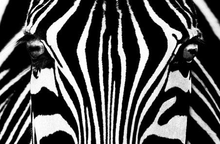 Zebra Patterns - Stripes