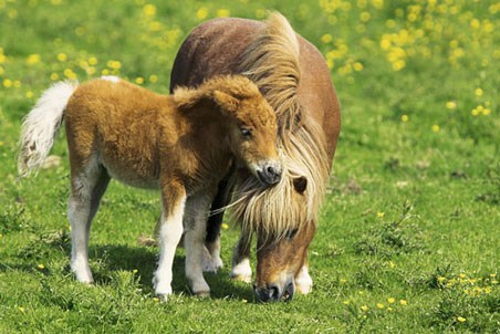 Two Ponies - Shetland Pony and Foal