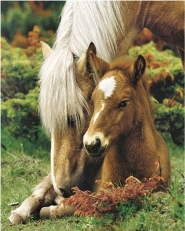 Mare and Foal II - Horse and her young